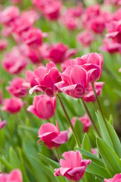 Tulipes jardin de fleurs rose vert couleur amour Photo stock © elwynn