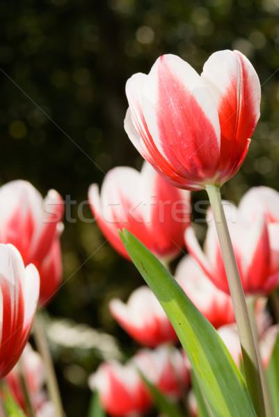 Kırmızı lâle güzel bahçe bahar yaprak Stok fotoğraf © elwynn