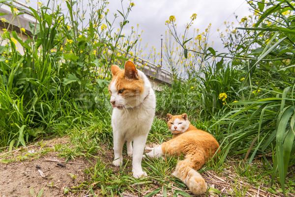 Stock fotó: Kettő · macskák · fű · Kiotó · Japán · utca