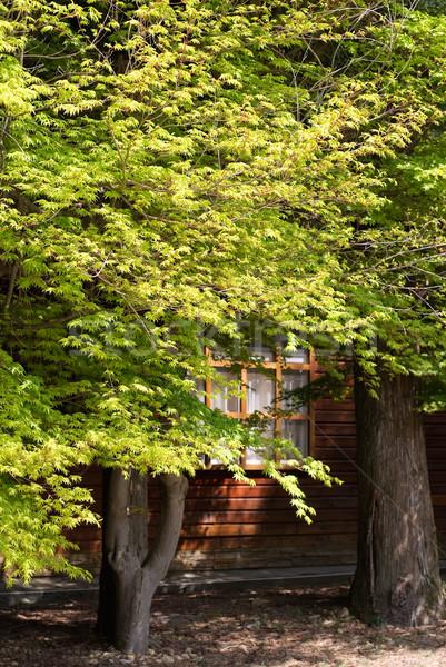 Green maple trees Stock photo © elwynn
