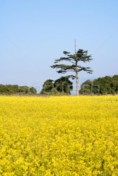Gelb Vergewaltigung Blumen Bauernhof blauer Himmel Stock foto © elwynn