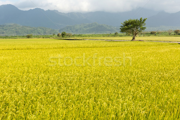 Or rural paysages riz ferme Taiwan Photo stock © elwynn