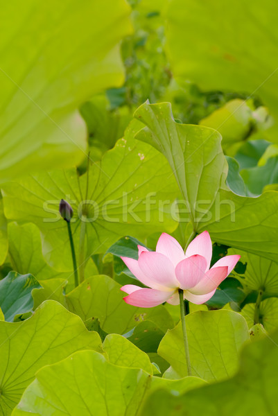 One red lotus surround by green leaf Stock photo © elwynn