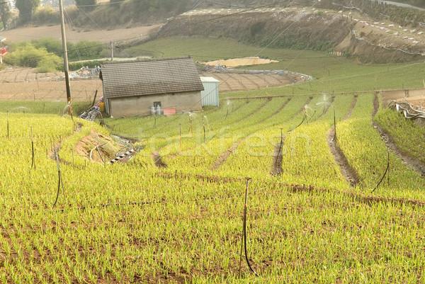 çiftlik yeşil soğan manzara kırsal manzara Tayvan Stok fotoğraf © elwynn