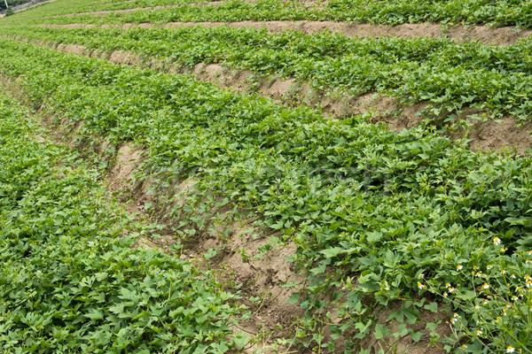 Cultivated land Stock photo © elwynn