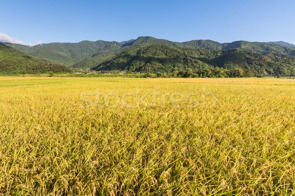 Landscape of paddy farm Stock photo © elwynn