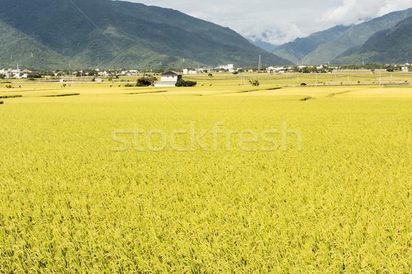 Pastoral kırsal manzara sarı alan Tayvan Stok fotoğraf © elwynn