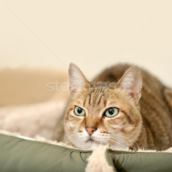 Macska arc föld copy space szemek pihen Stock fotó © elwynn