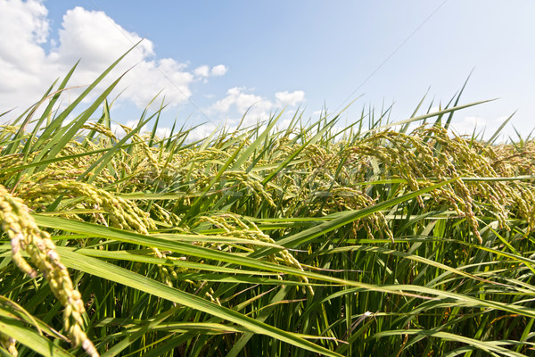 Rural scenery of paddy Stock photo © elwynn