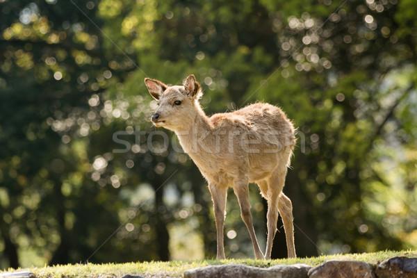Nara deer Stock photo © elwynn