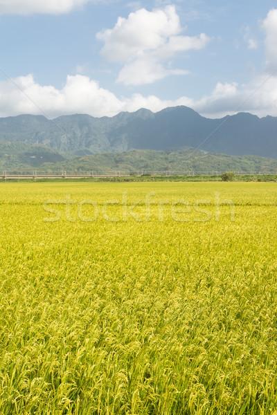 сельский декораций риса фермы Тайвань Сток-фото © elwynn