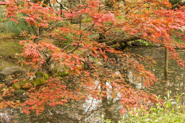 Red maples planted on the shore and reflection. Stock photo © elwynn