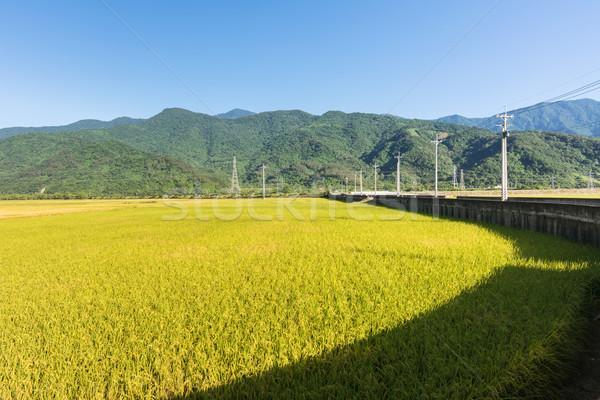 paddy farm Stock photo © elwynn