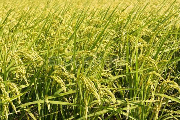 Golden paddy rice farm Stock photo © elwynn