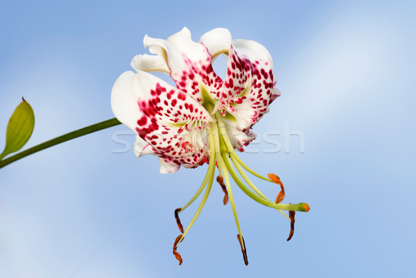Stock photo: Lilium speciosum var. gloriosoides