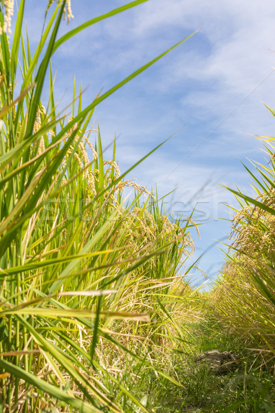 Rural scenery with golden paddy Stock photo © elwynn