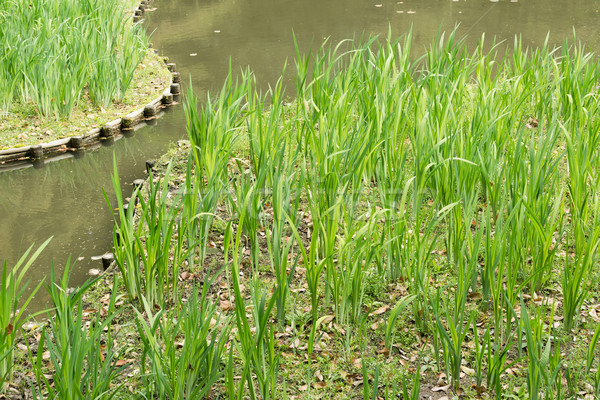The green grass gardening in the pond. Stock photo © elwynn