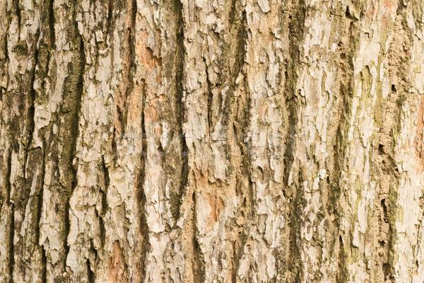 樹皮 ニレ テクスチャ ツリー 自然 デザイン ストックフォト © elwynn