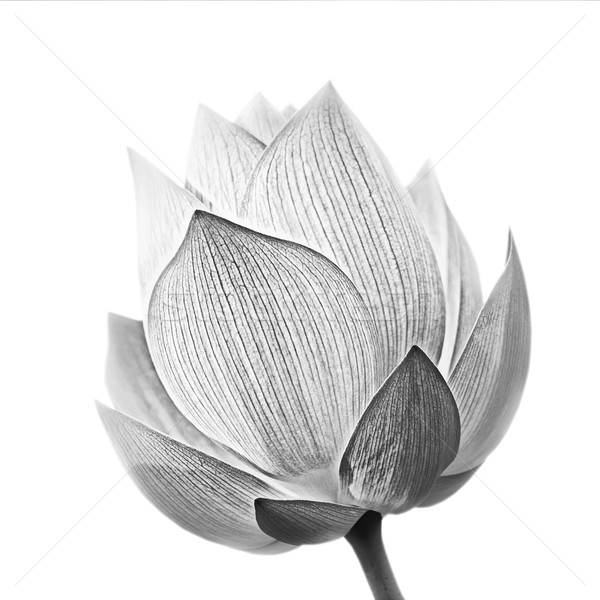 Lotus flower Stock photo © elwynn