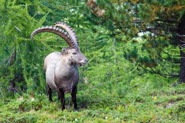 Alpine ibex in the swiss alps Stock photo © elxeneize