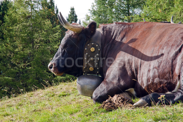 Cow with a bell Stock photo © elxeneize