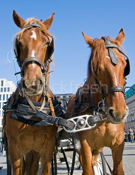 Cavalos Berlim cara natureza verão retrato Foto stock © elxeneize