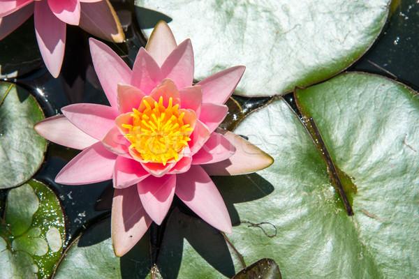 Kicsi tavacska rózsaszín virág levél nyár Stock fotó © elxeneize