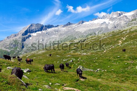 Cattle in the alps Stock photo © elxeneize