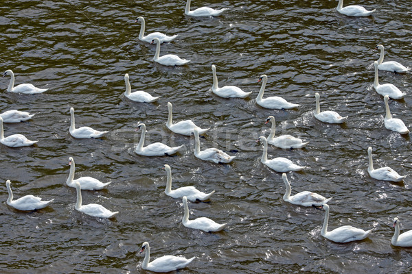 çok beyaz grup yüzme birlikte kuş Stok fotoğraf © elxeneize