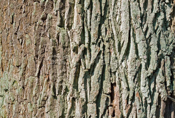 árbol corteza detalle edad rústico textura Foto stock © elxeneize