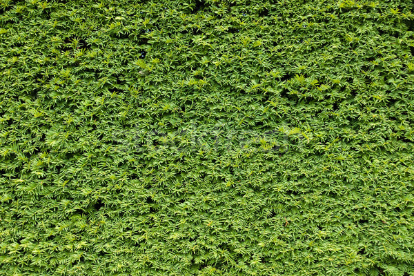 Green natural background Stock photo © elxeneize