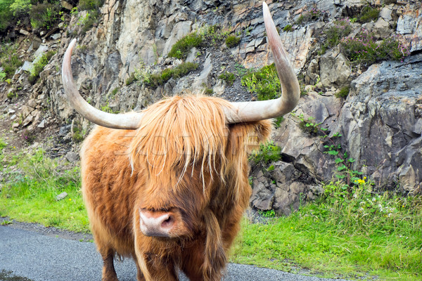 Stock photo: Galloway cattle in Scotland