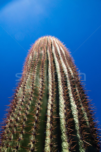 Tall Saguaro Stock photo © emattil