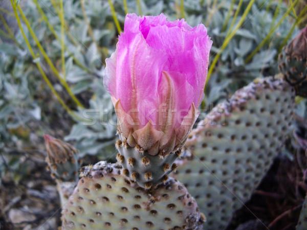 Prickly pear cactus blossom Stock photo © emattil