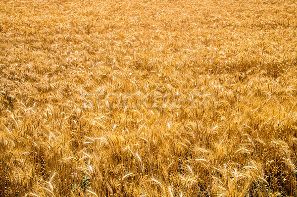 Golden Wheat Stock photo © emattil