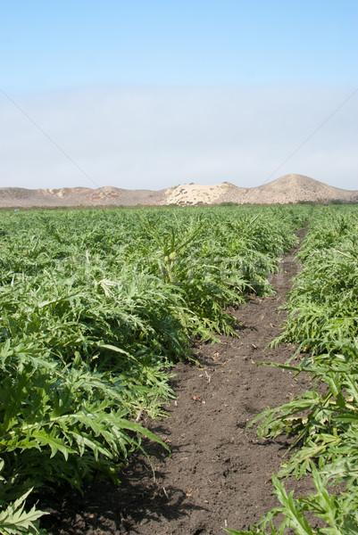 Artichoke Crop in California Stock photo © emattil