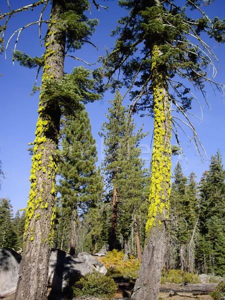 Iki ağaçlar orman yosemite ulusal parkı Stok fotoğraf © emattil
