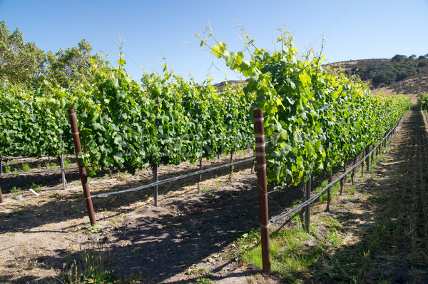 Jonge wijnstokken Californië druiven zomer textuur Stockfoto © emattil
