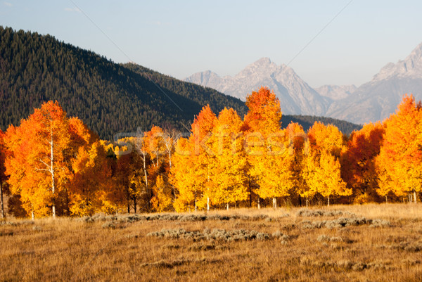 Aspens aflame with Fall color in Grand Tetons Stock photo © emattil