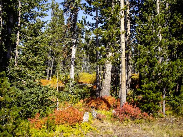 Sonbahar orman ağaçlar yeşil sonbahar düşmek Stok fotoğraf © emattil