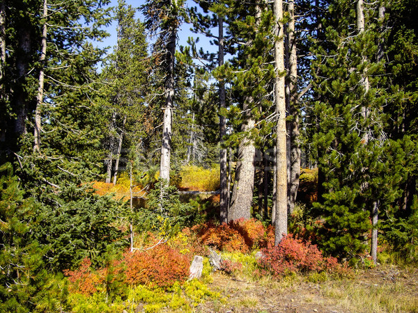 Bos bomen groene najaar vallen Stockfoto © emattil