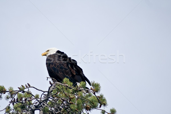 Bald Eagle at rest Stock photo © emattil