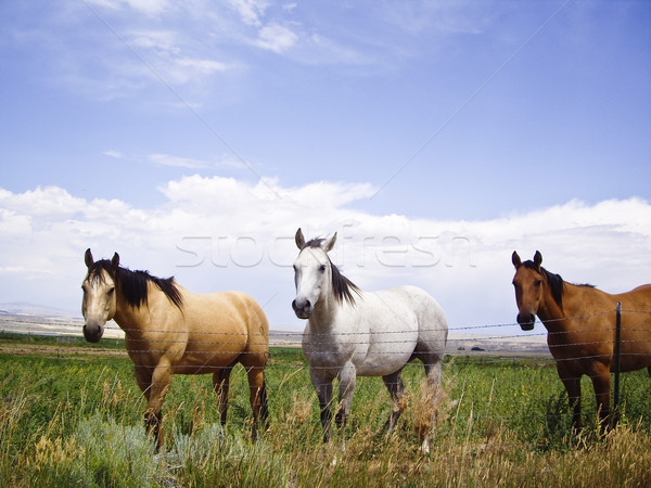 Horses of a different color Stock photo © emattil
