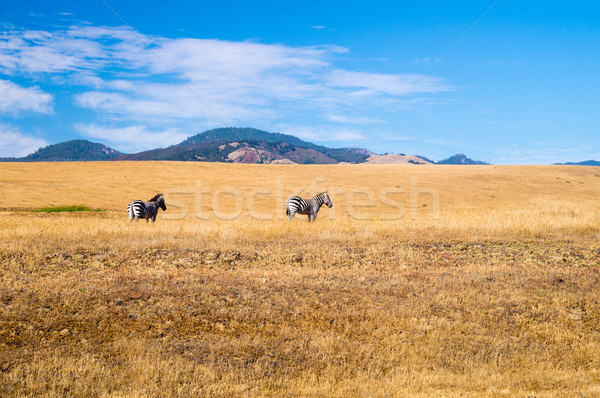 California Dreaming for two Zebra Stock photo © emattil