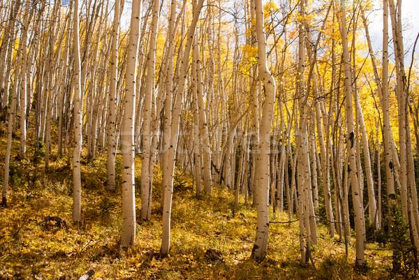 ストックフォト: 日照 · 林間の空き地 · 日光 · コロラド州 · 秋 · 木