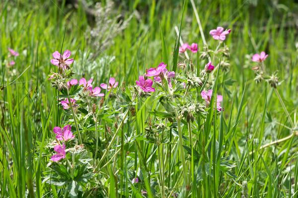 луговой Полевые цветы розовый травянистый парка США Сток-фото © emattil