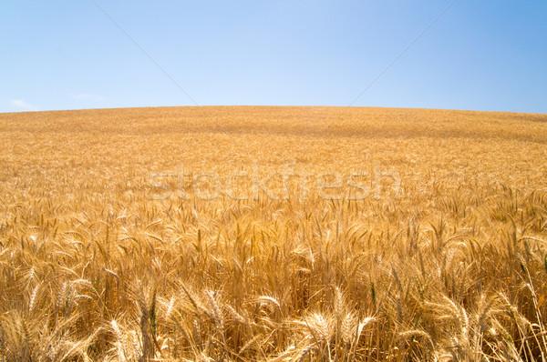 Güneş buğday Kaliforniya ışık tarım organik Stok fotoğraf © emattil