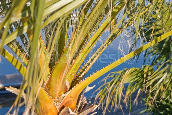 Palmiye yaprak dişler bitki tropikal ABD Stok fotoğraf © emattil