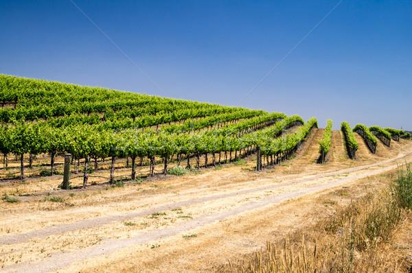 Domboldal nő Kalifornia levél szőlő szőlőskert Stock fotó © emattil