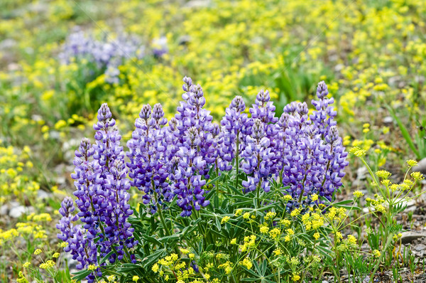 Purple Wildflowers Stock photo © emattil